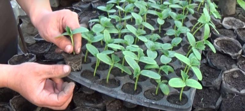 Выращивание огурцов в открытом грунте: от выбора и посева семян до сбора урожая